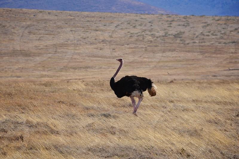 Ostrich Animals Roaming Wildlife Wild Animals Birds Big Birds Outdoors Ngorongoro Crater Africa Tanzania Safari nature destination wild birds photo
