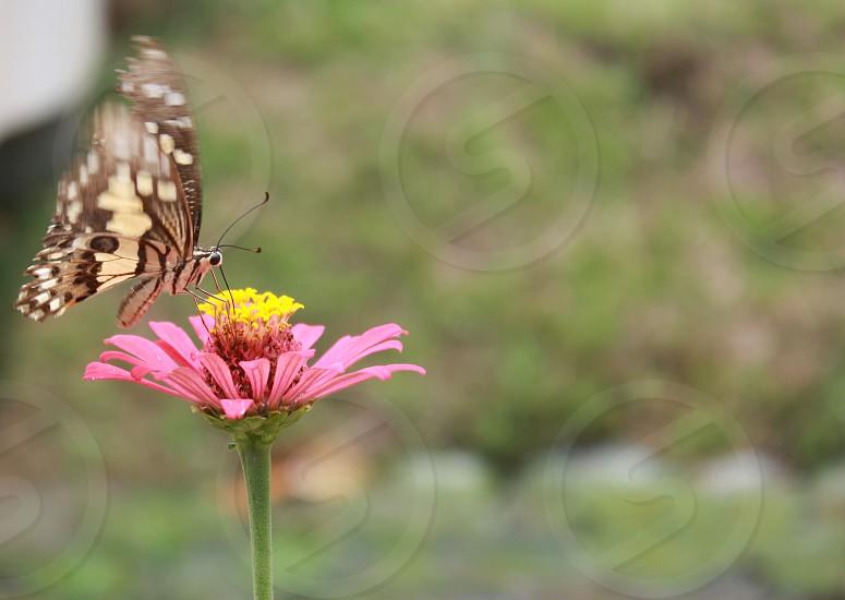 Dancing butterfly flutter flower pink yellow green brown  photo