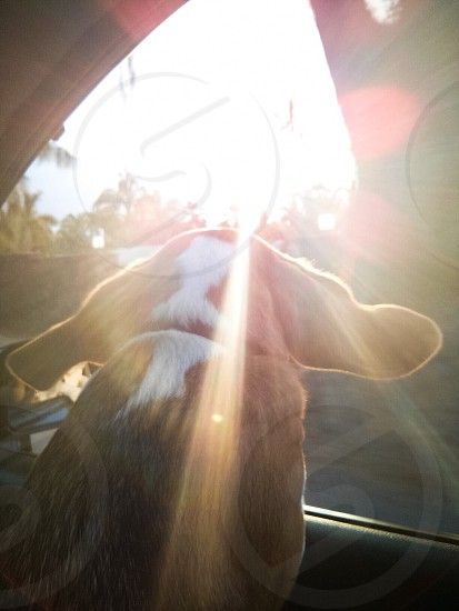 dog looking out car window with sun shining photo