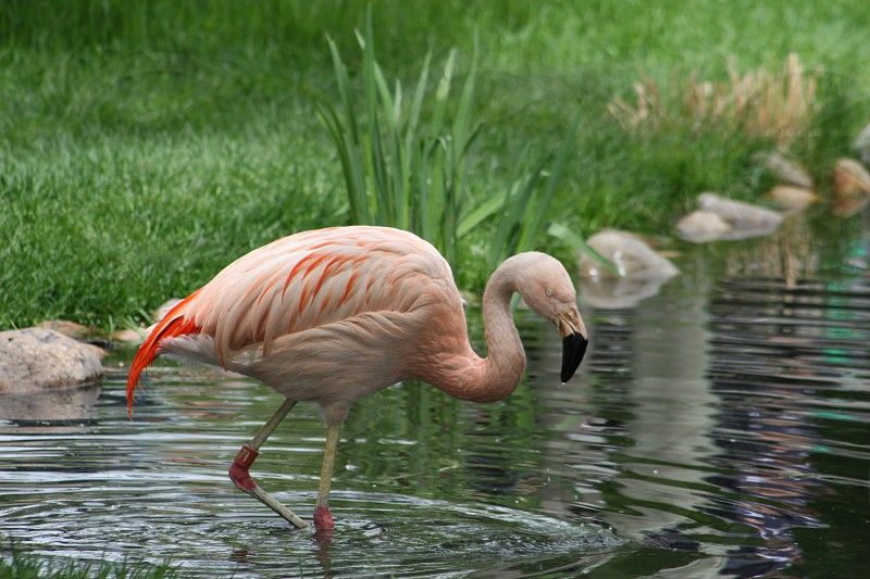 Pink Flamingo wading in river. photo