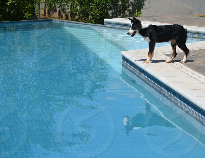 short-coated tricolor dog front of swimming pool at daytime photo