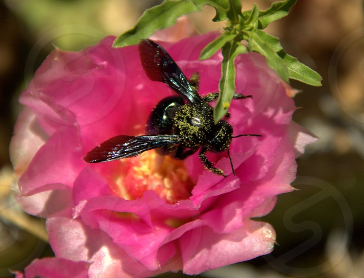 pollen bath been nature plants pollination photo