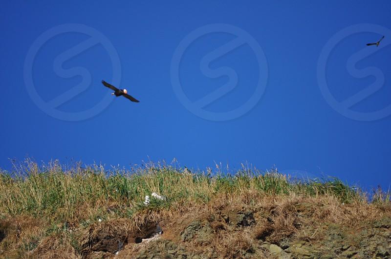 Puffin taking flight photo