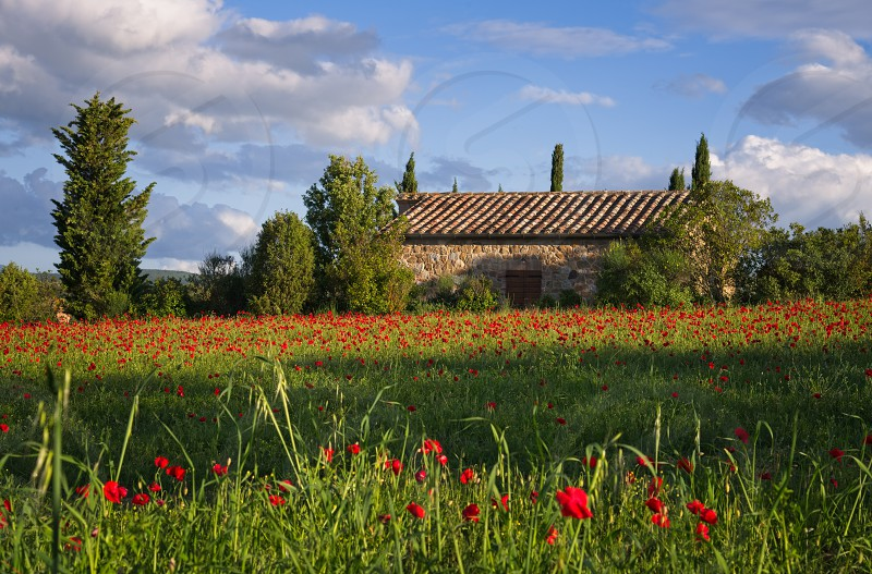 VAL D'ORCIA TUSCANY/ITALY - MAY 19 : Poppy field in Tuscany on May 19 2013 photo