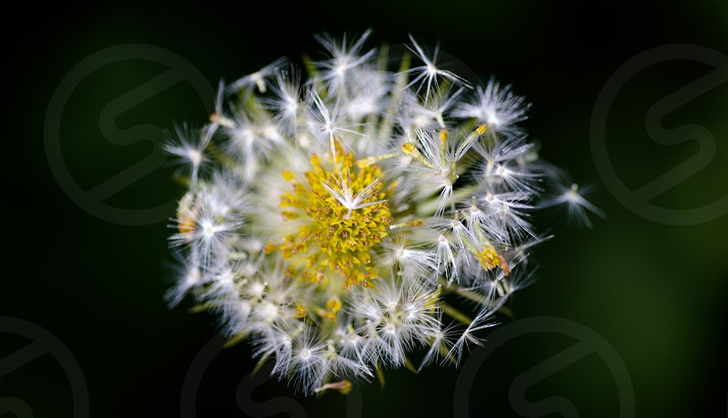 Dandelion up close photo