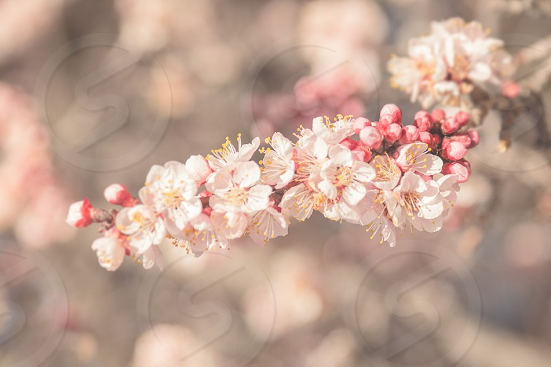 muted tones crab apple floral nature photo