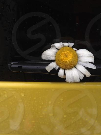 Raining daisies photo