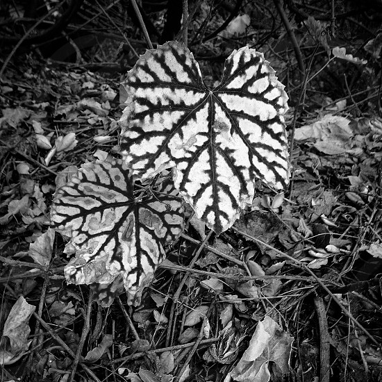 Fall leaves in black and white  photo