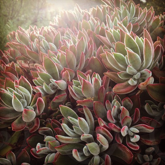 Succulent photo