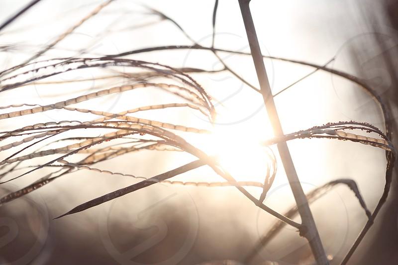 sun through wheat plant photo