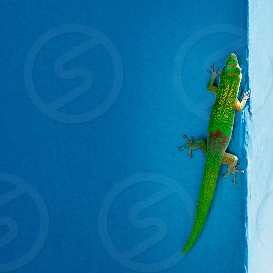 Diurnal Gecko photo