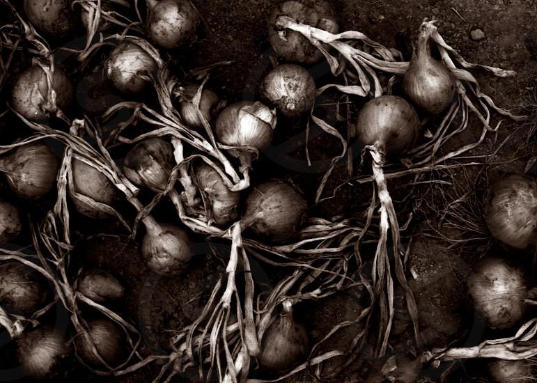 onions on ground photo
