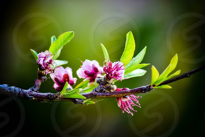Fruit tree blossoms photo