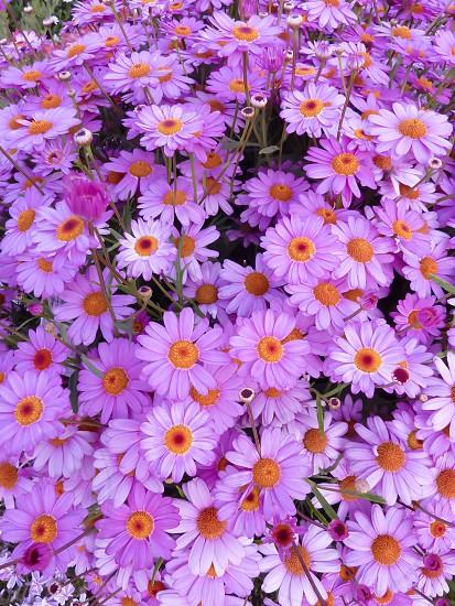 purple daisy flowers photo