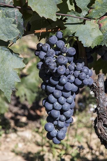 Grapes Vineyard photo