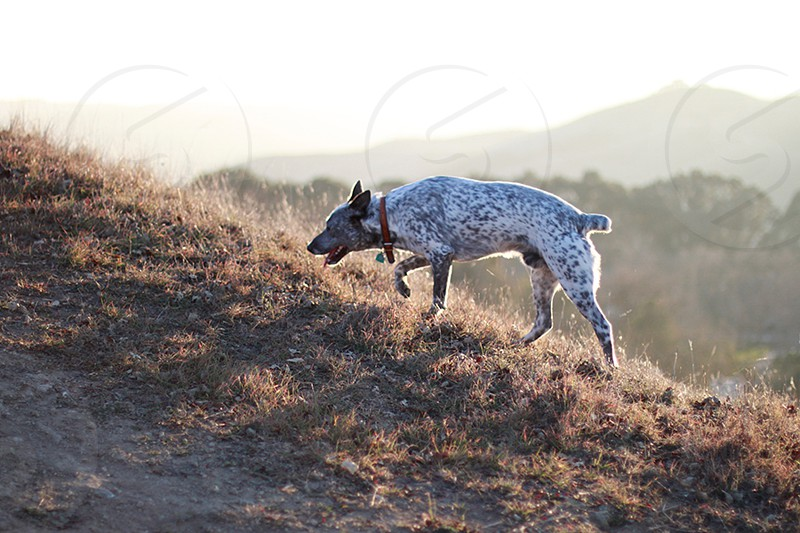 white and gray spotted dog walking photo