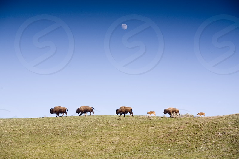 Bison and moonrise Yellowstone National Park Wyoming photo