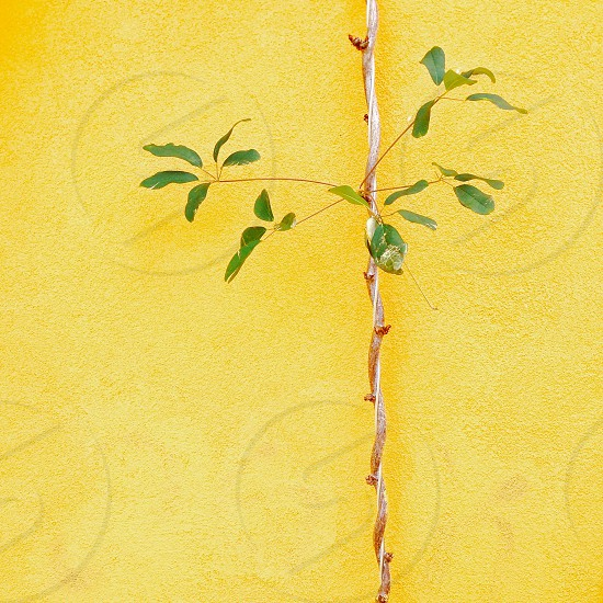 Vines yellow wall nature  photo