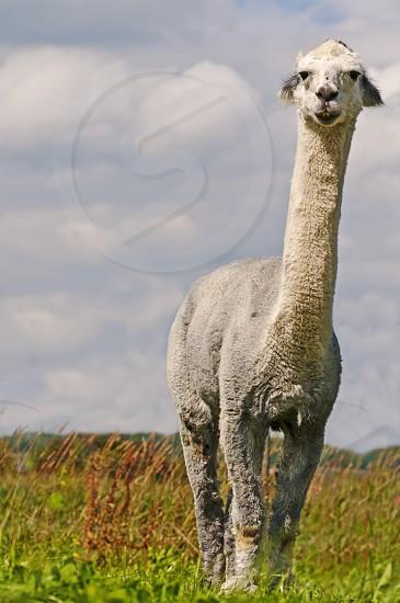 Alpaca looks serious photo