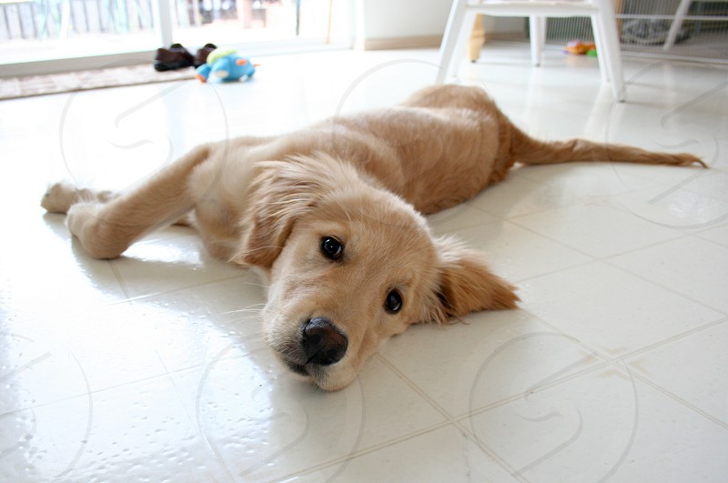 Gold retriever puppy laying down in the kitchen. Very bright lots of white light photo