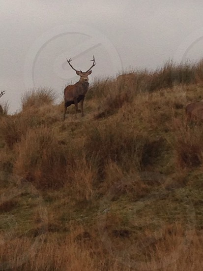Red deer stag photo