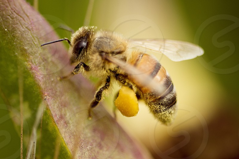A honey bee covered in pollen lands on a leaf. bee; pollen; honey bee; honey; insect; wings; nature; animal;  photo