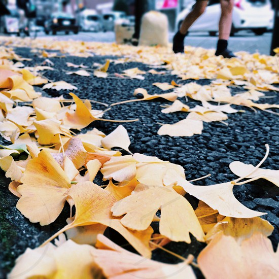 yellow fallen leaves on black asphalt photo