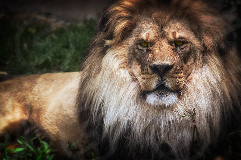 King of the Jungle. Shot of a lion from a local zoo in upstate NY photo