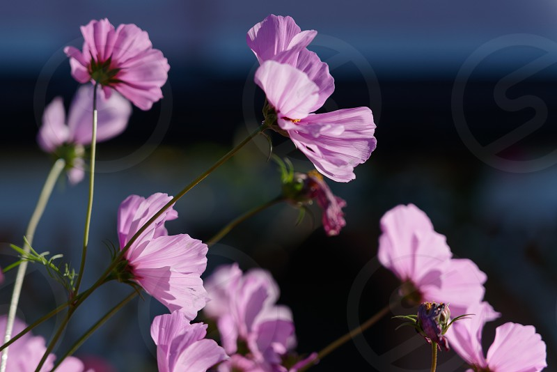 Vivid sunlit Cosmos flowers growing in a garden in Lindfield West Sussex photo