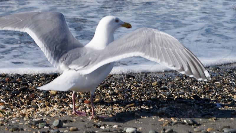 Seagullbirdwildlifebeachpebblesbeachwavessunshinesplashingtide photo