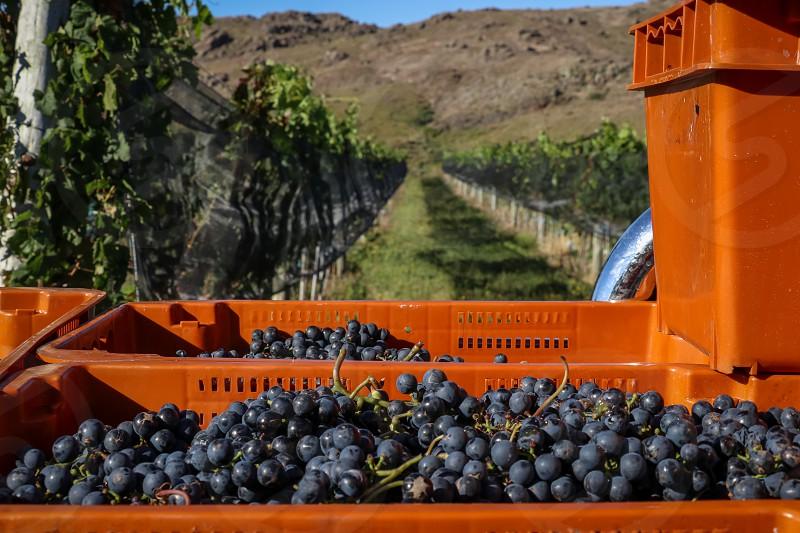 drawers full of grapes next to vineyard photo