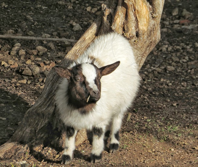 baby goat picture photo