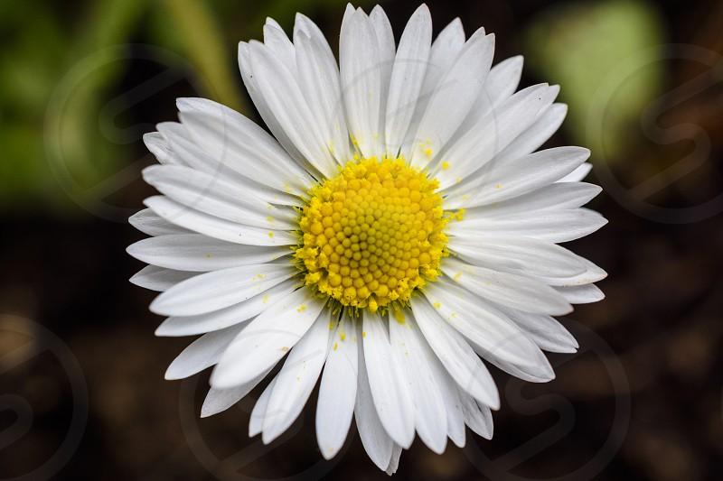 spring daisy close-up photo
