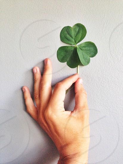 clover plant photo