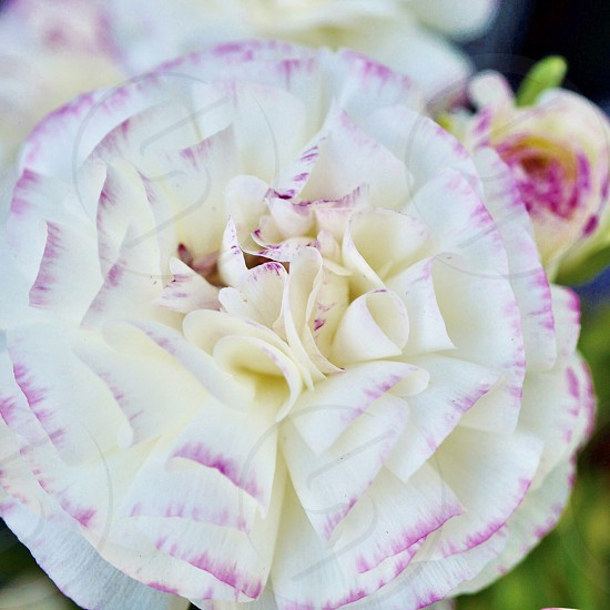 Spring flower blossom bloom ranunculus petal white pink photo