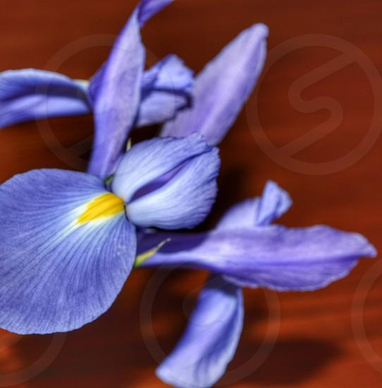 Blue iris flower plant garden beautiful table wood photo
