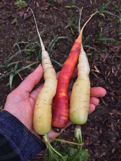 white raddish root crops photo