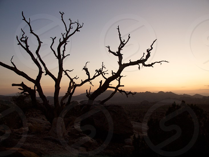 Joshua Tree. Silhouette. Sunset. Desert.  photo