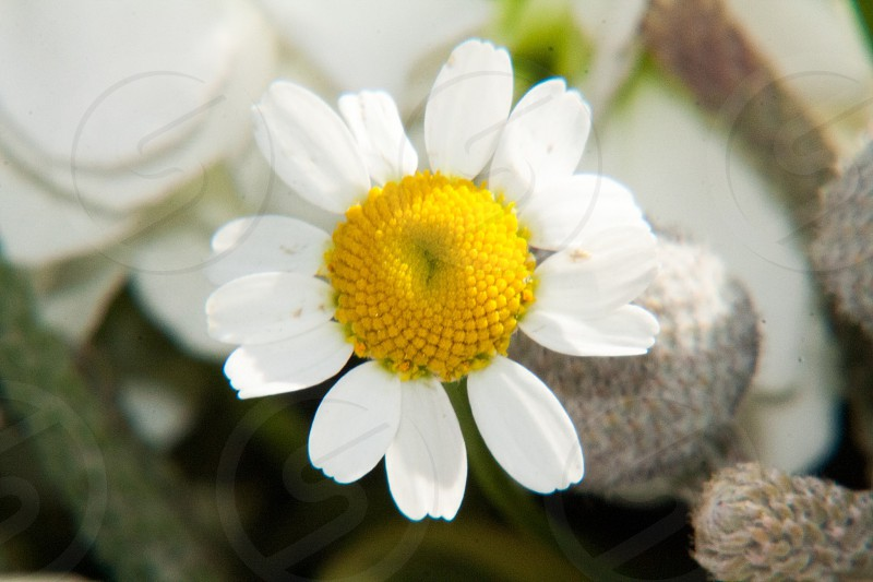 Macro of a real small daisy type flower.  photo