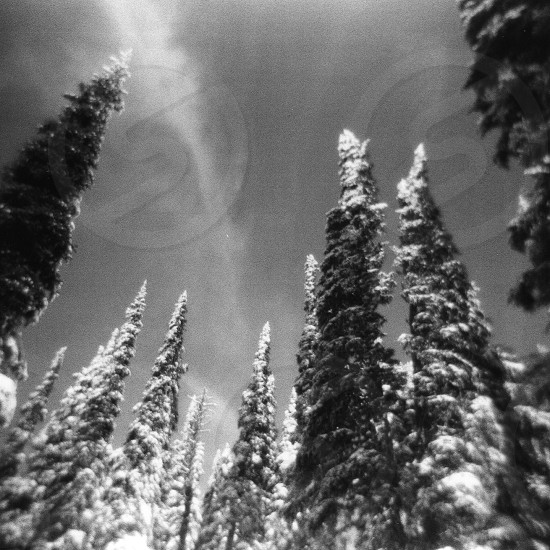 snowy pine tree photo photo