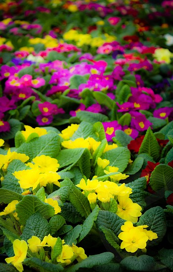 Spring colors shown by rows and rows of primroses photo