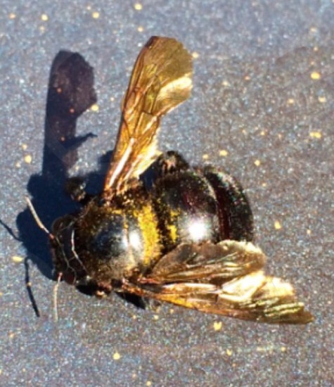 Bee insect nature vibrant wings gold natural light photo