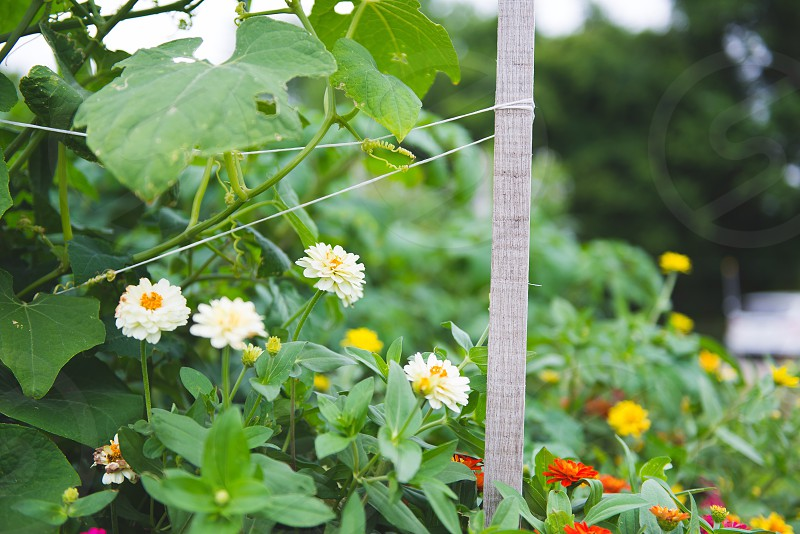 Zinnia zinnias flowers garden farm zen peaceful tranquility nature beauty photo
