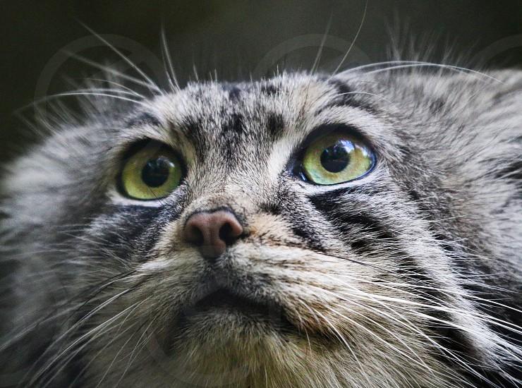 Pallas Cat portrait photo