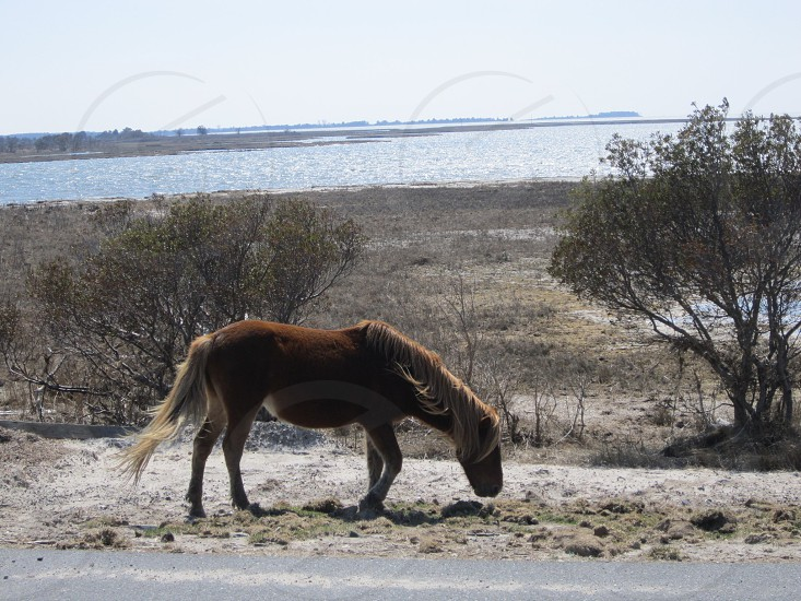 Assateague Horse photo