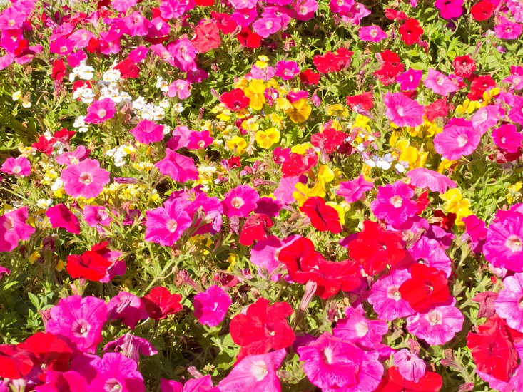 Colorful horticulture flower background pattern texture multi-colored petunias and other flowers in garden bed photo