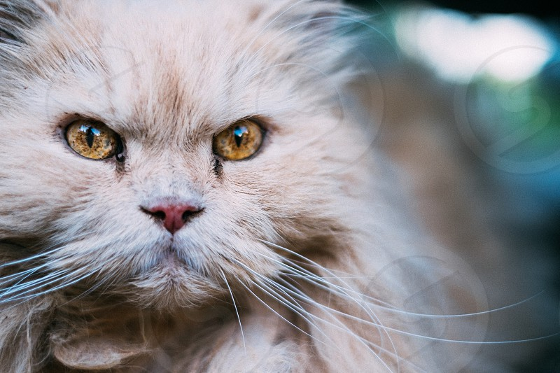 Closeup of a serious cat photo