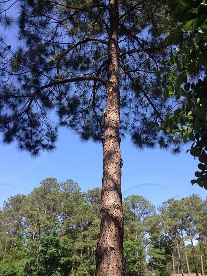 Whispering Pine photo