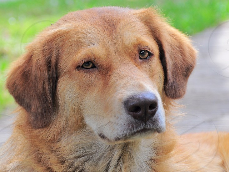brown long haired dog photo