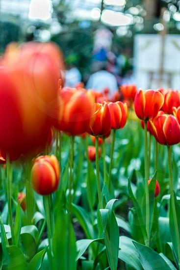 Spring tulips flower Singapore orange colour  photo